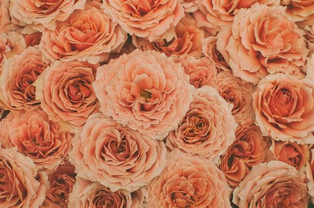 オレンジ色の薔薇(テクスチャー)の写真