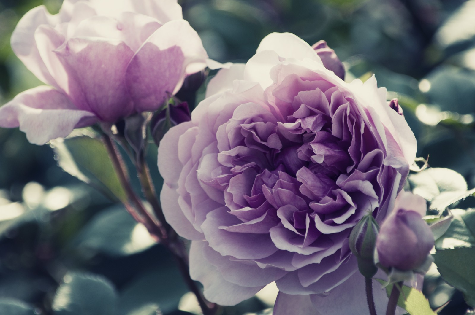 「しめやかな風に香る薔薇」の写真