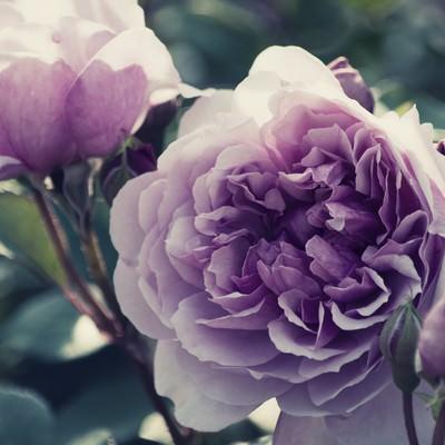 しめやかな風に香る薔薇の写真