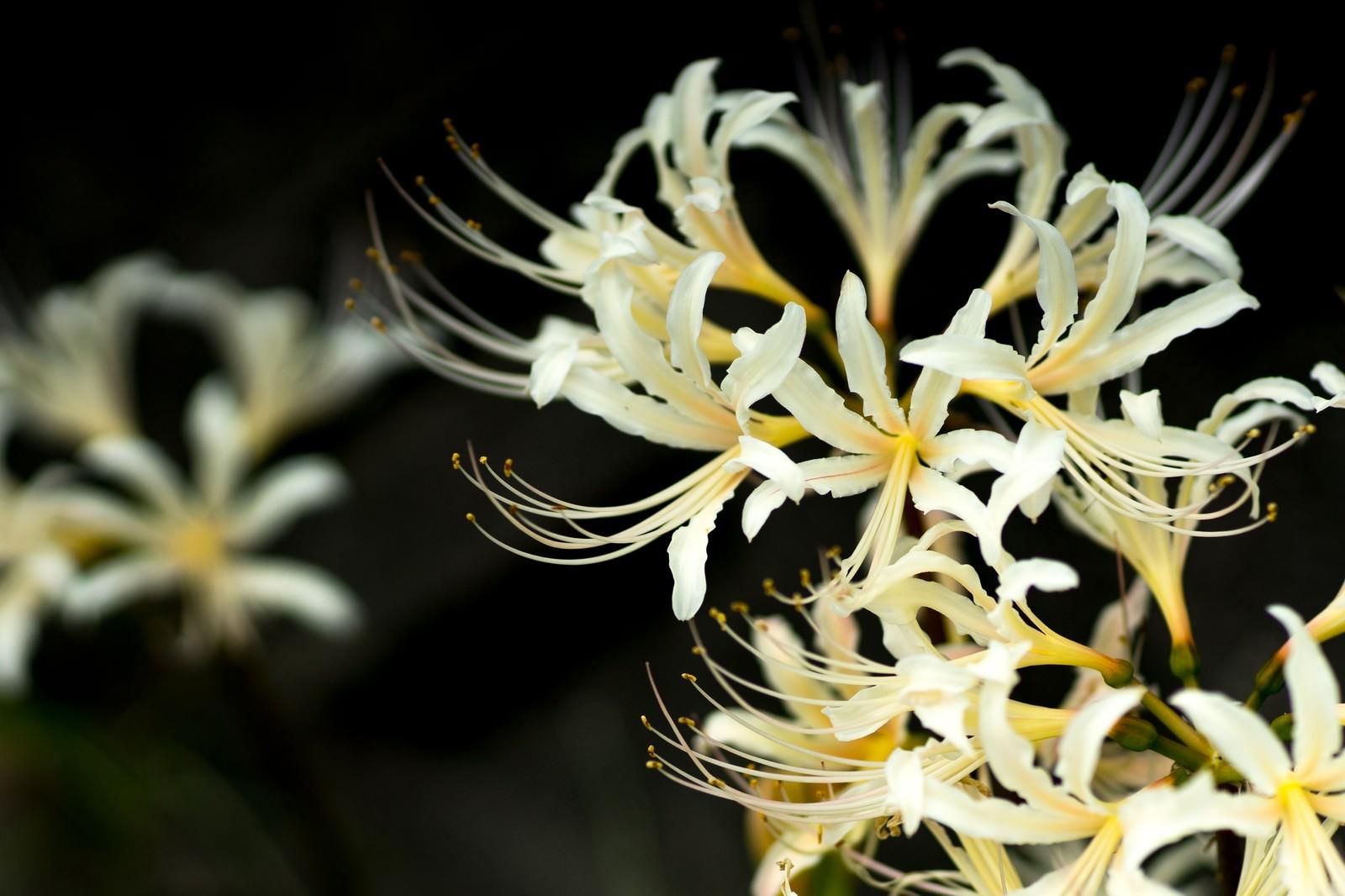 「白い彼岸花(白花曼珠沙華)」の写真