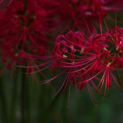 「曼珠沙華の季節」の写真素材