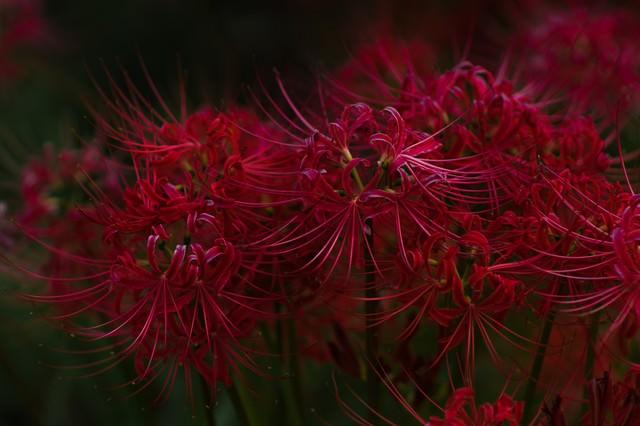夏の終わり、お彼岸の時期に咲く花「彼岸花」の写真