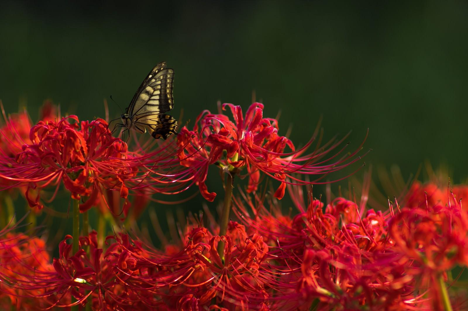 「曼珠沙華の蜜を吸う揚羽蝶」の写真