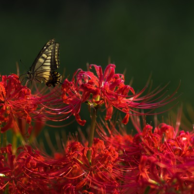 曼珠沙華の蜜を吸う揚羽蝶の写真