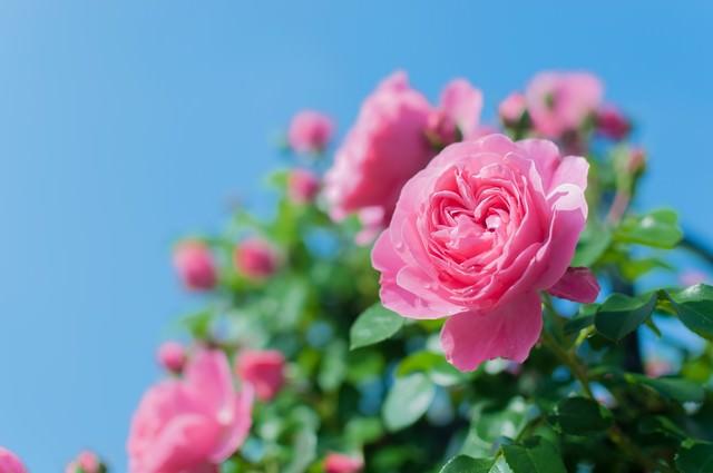 青空とつるバラの写真