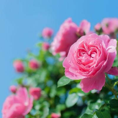 「青空とつるバラ」の写真素材