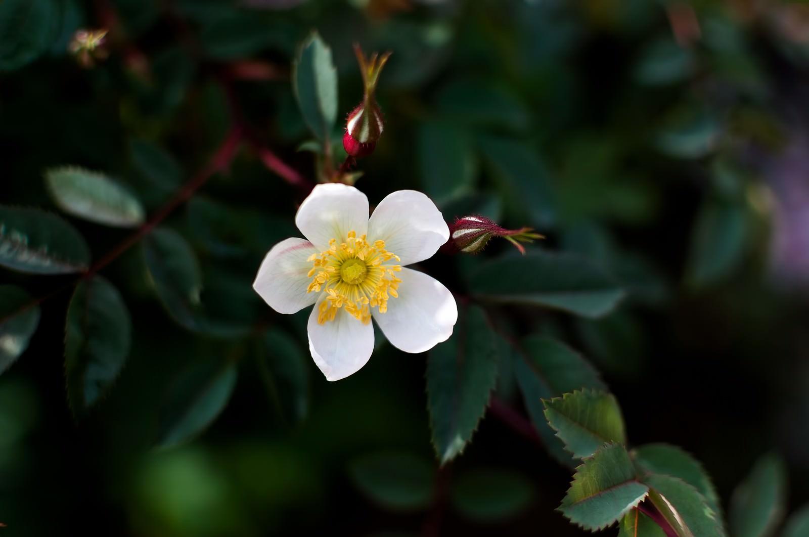 「一重のバラ一重のバラ」のフリー写真素材を拡大