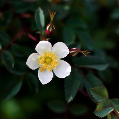 「一重のバラ」の写真素材
