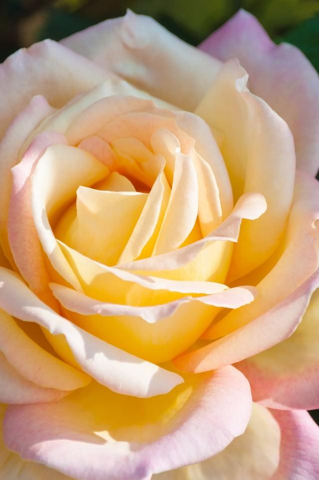 大輪のバラの写真