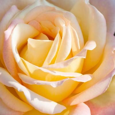 「大輪のバラ」の写真素材