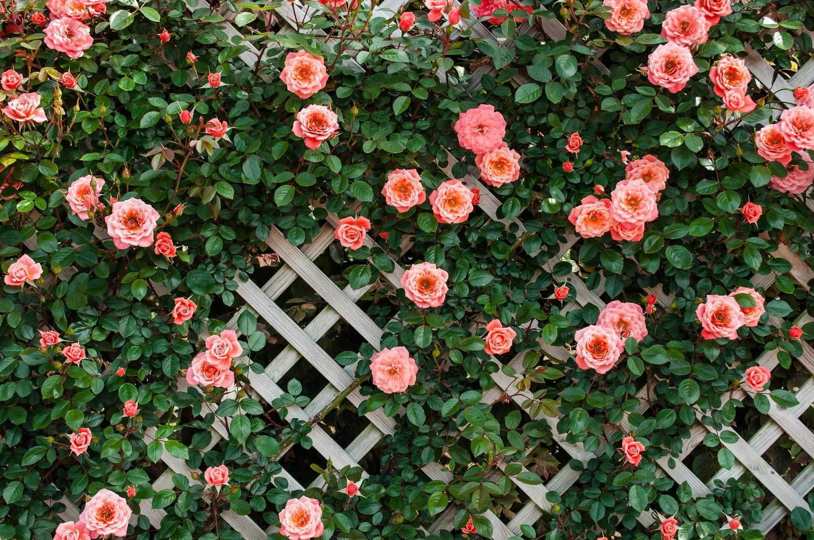 「トレリスとつるバラ」の写真