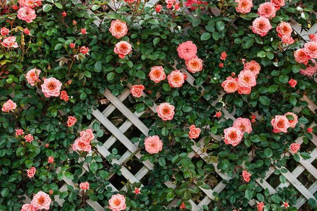 トレリスとつるバラの写真