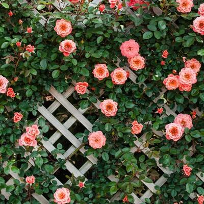 「トレリスとつるバラ」の写真素材