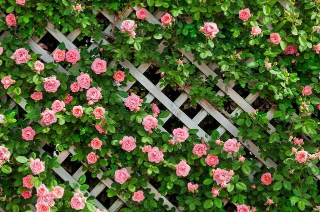 ピンク色のつるバラの写真