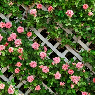 「ピンク色のつるバラ」の写真素材