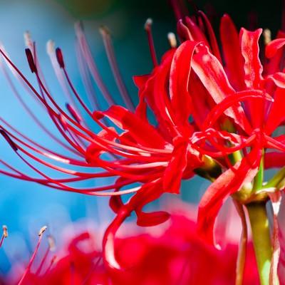 「鮮やかな赤(彼岸花)」の写真素材