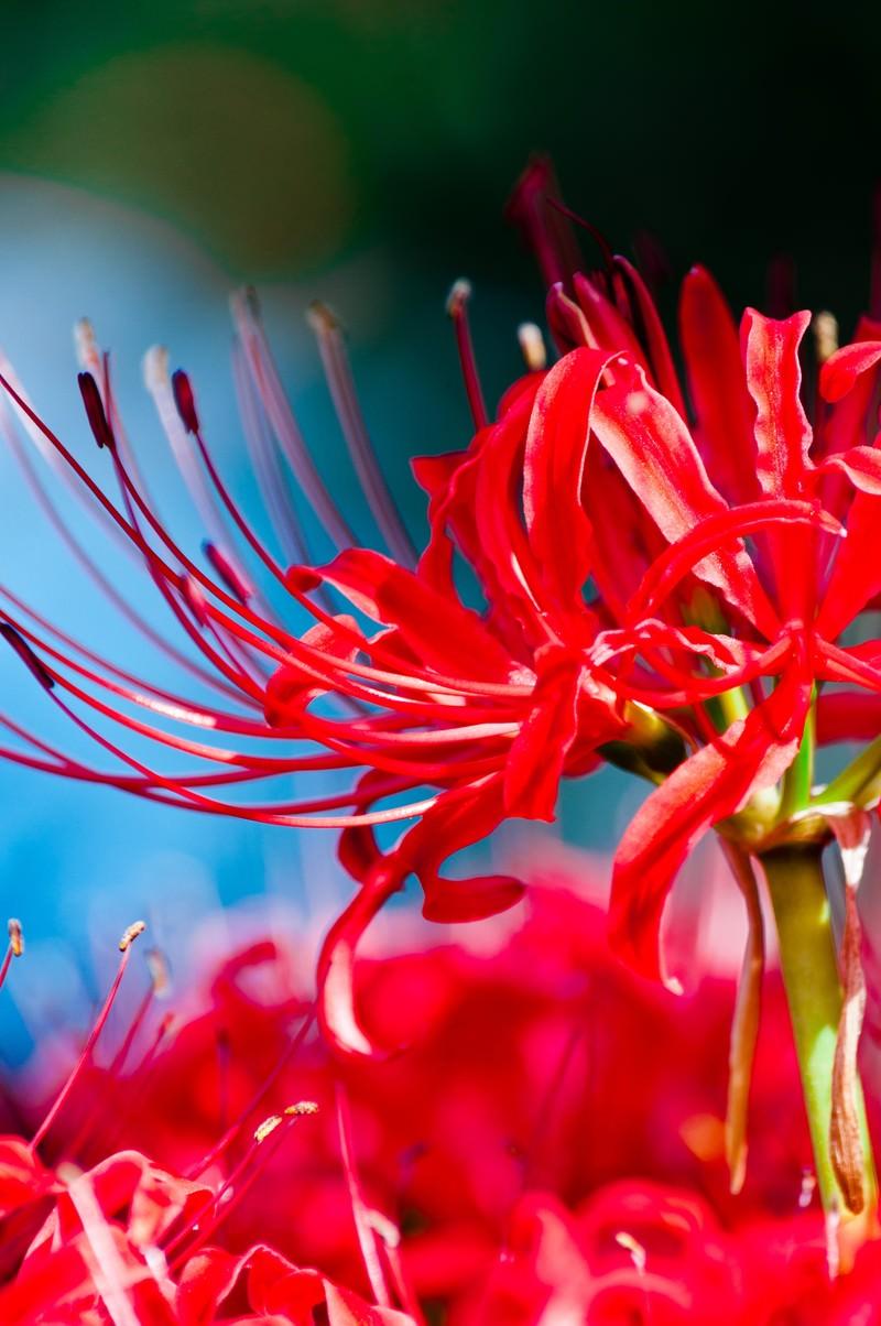 「鮮やかな赤(彼岸花)」の写真