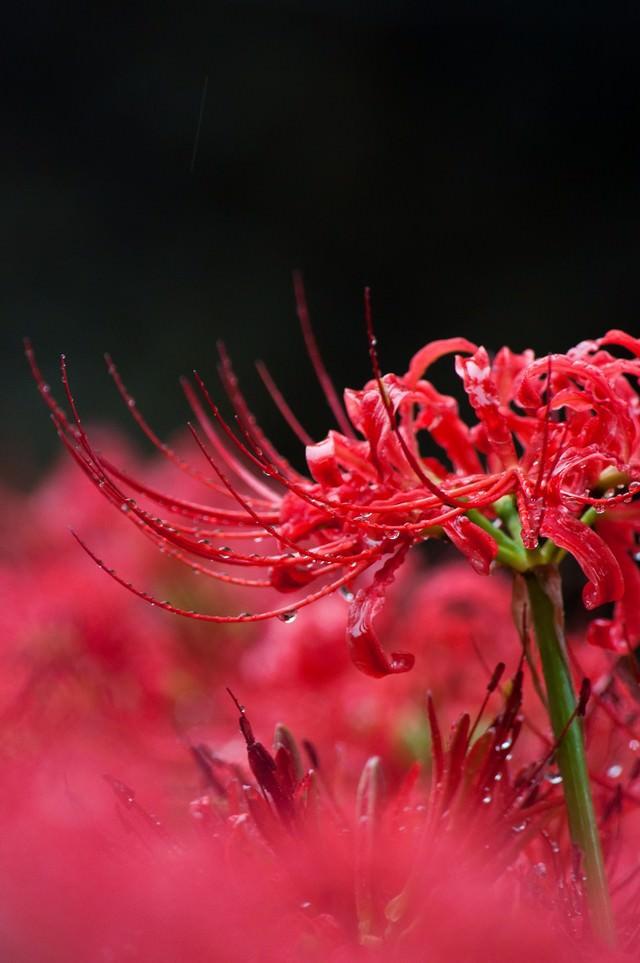 雨に濡れる彼岸花の写真