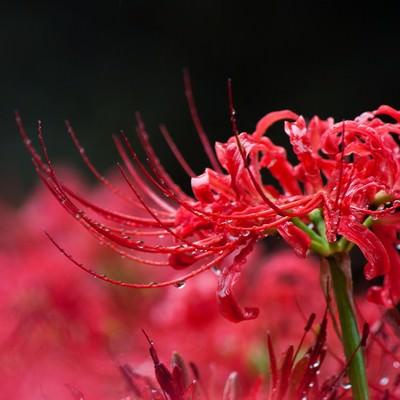 「雨に濡れる彼岸花」の写真素材