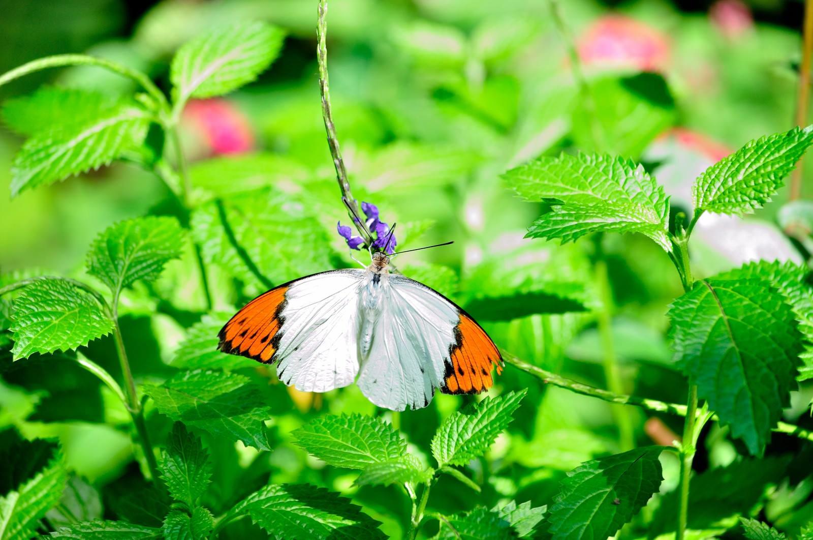 「ツマベニチョウ」の写真