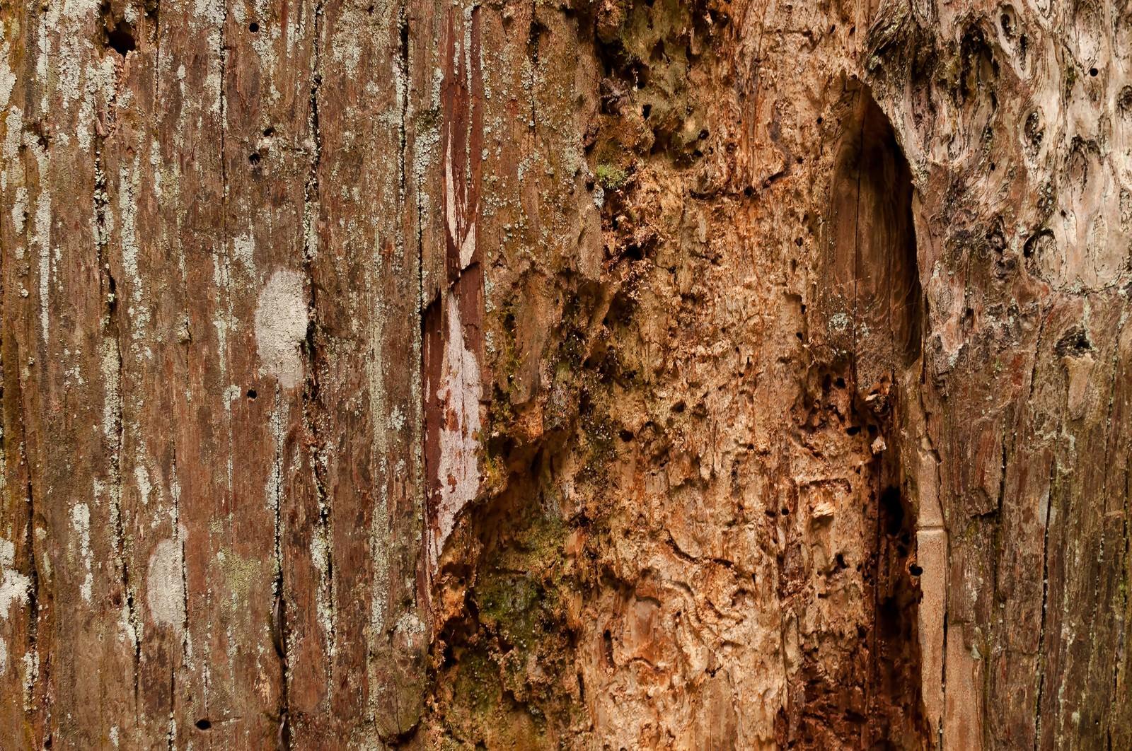 「えぐられた樹の幹(テクスチャー)」の写真
