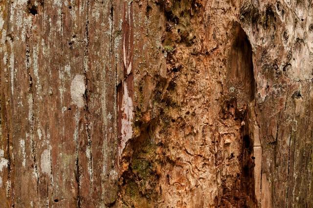 えぐられた樹の幹(テクスチャー)の写真