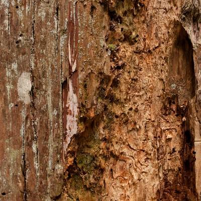 「えぐられた樹の幹(テクスチャー)」の写真素材