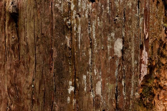 大木の樹皮(テクスチャ)の写真