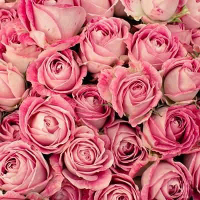 「ニュアンスカラーの薔薇(テクスチャー)」の写真素材