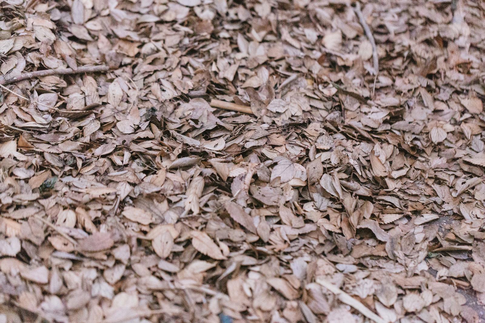 「一面の落葉(枯れ葉)」の写真
