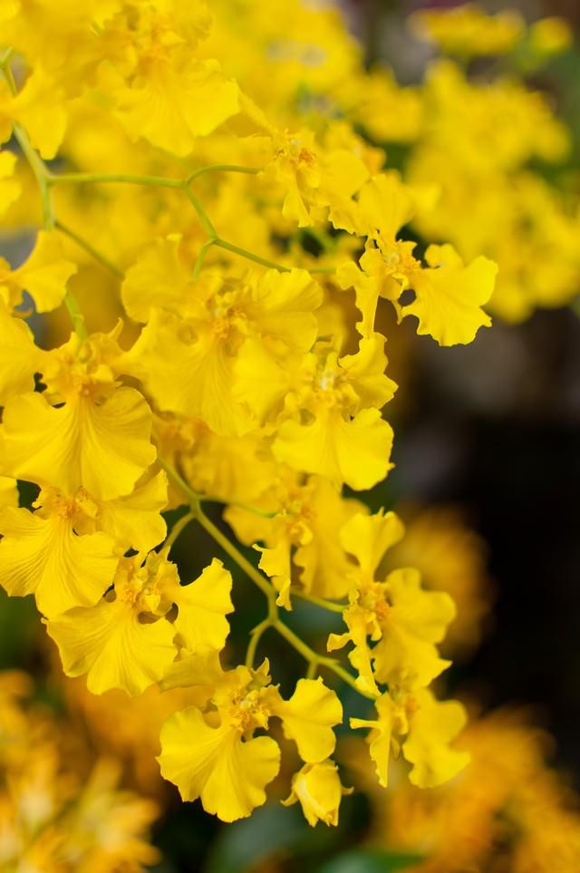 黄色いオンシジュームの写真