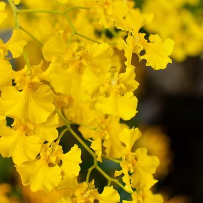 「黄色いオンシジューム」の写真素材