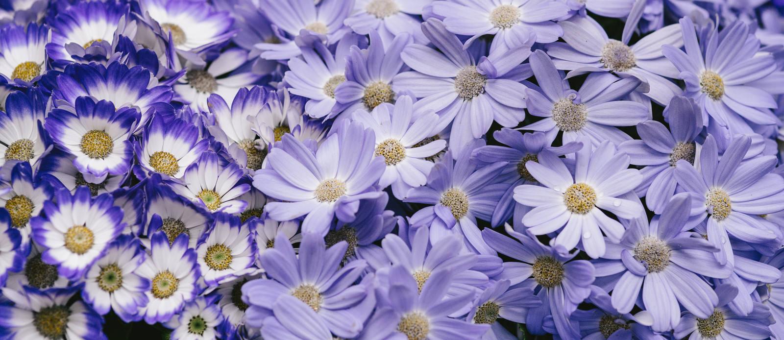 「紫色のお花紫色のお花」のフリー写真素材を拡大