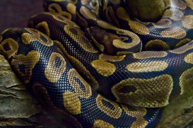 ボールニシキヘビの写真
