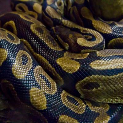 「ボールニシキヘビ」の写真素材