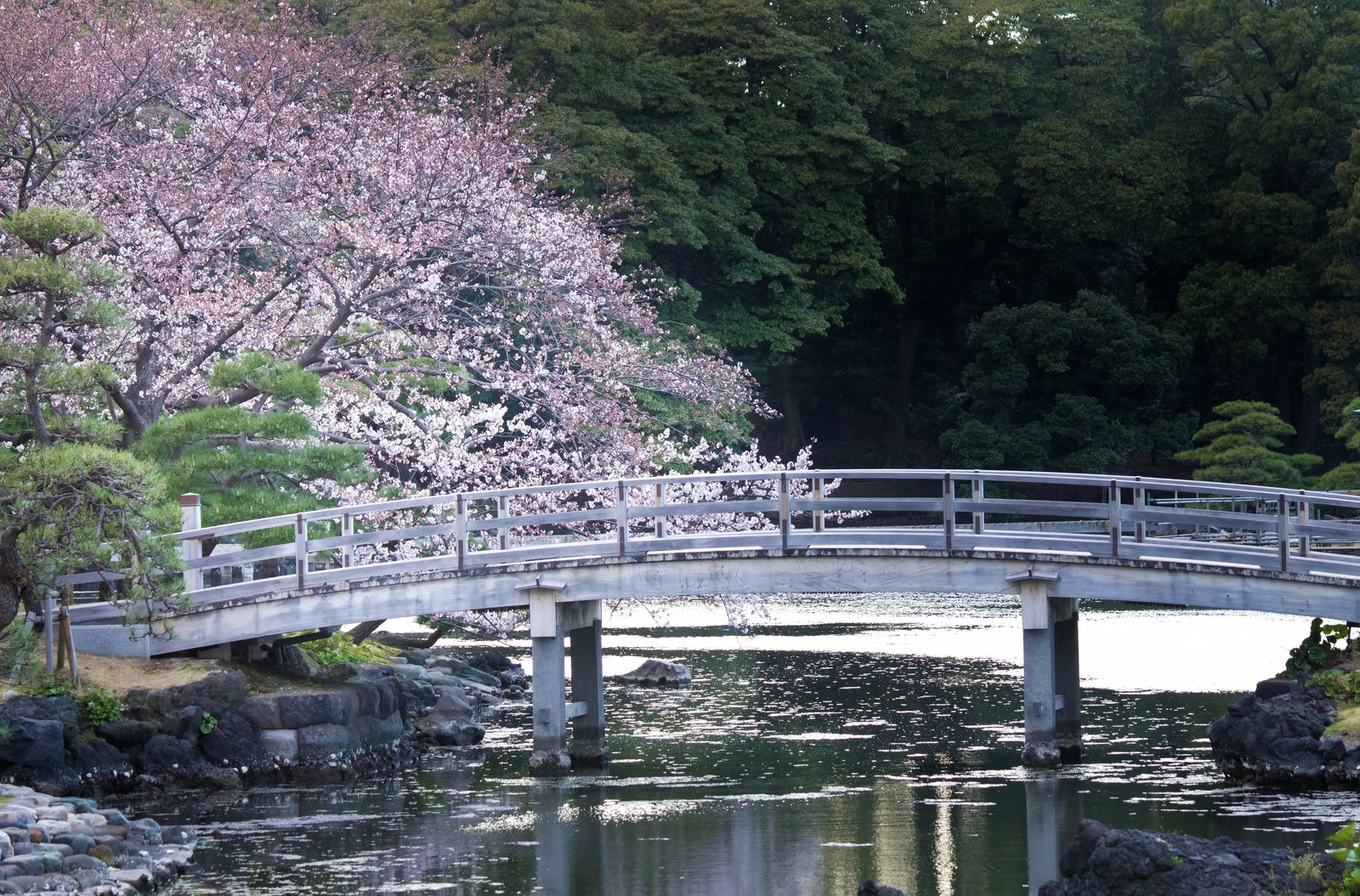 「浜離宮の桜浜離宮の桜」のフリー写真素材を拡大
