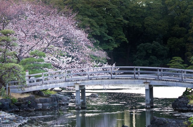 浜離宮の桜の写真