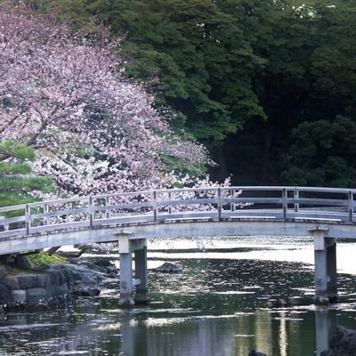 「浜離宮の桜」の写真素材