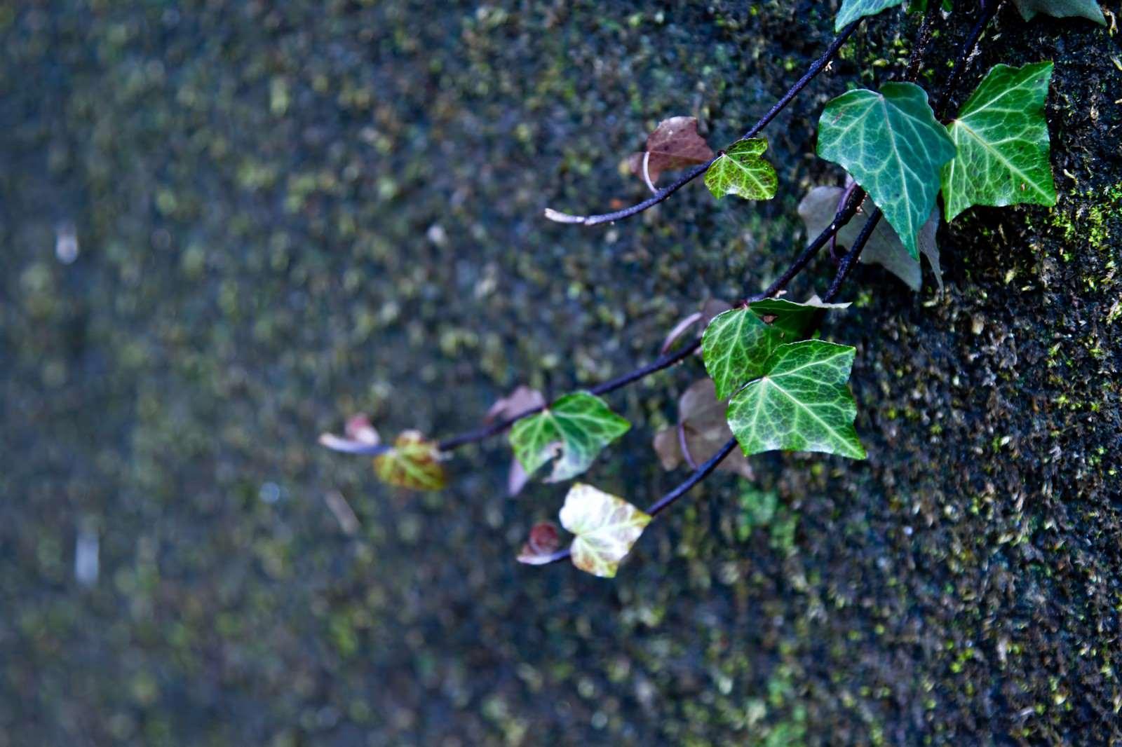 「湿った場所の蔓」の写真