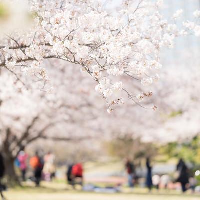 桜の下でお花見の写真