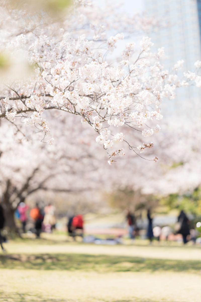 「桜の下でお花見」の写真