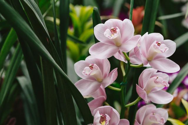 コチョウランの花の写真
