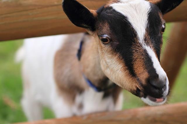 柵から首を出すヤギさんの写真