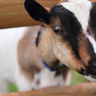 「柵から首を出すヤギさん」の写真素材