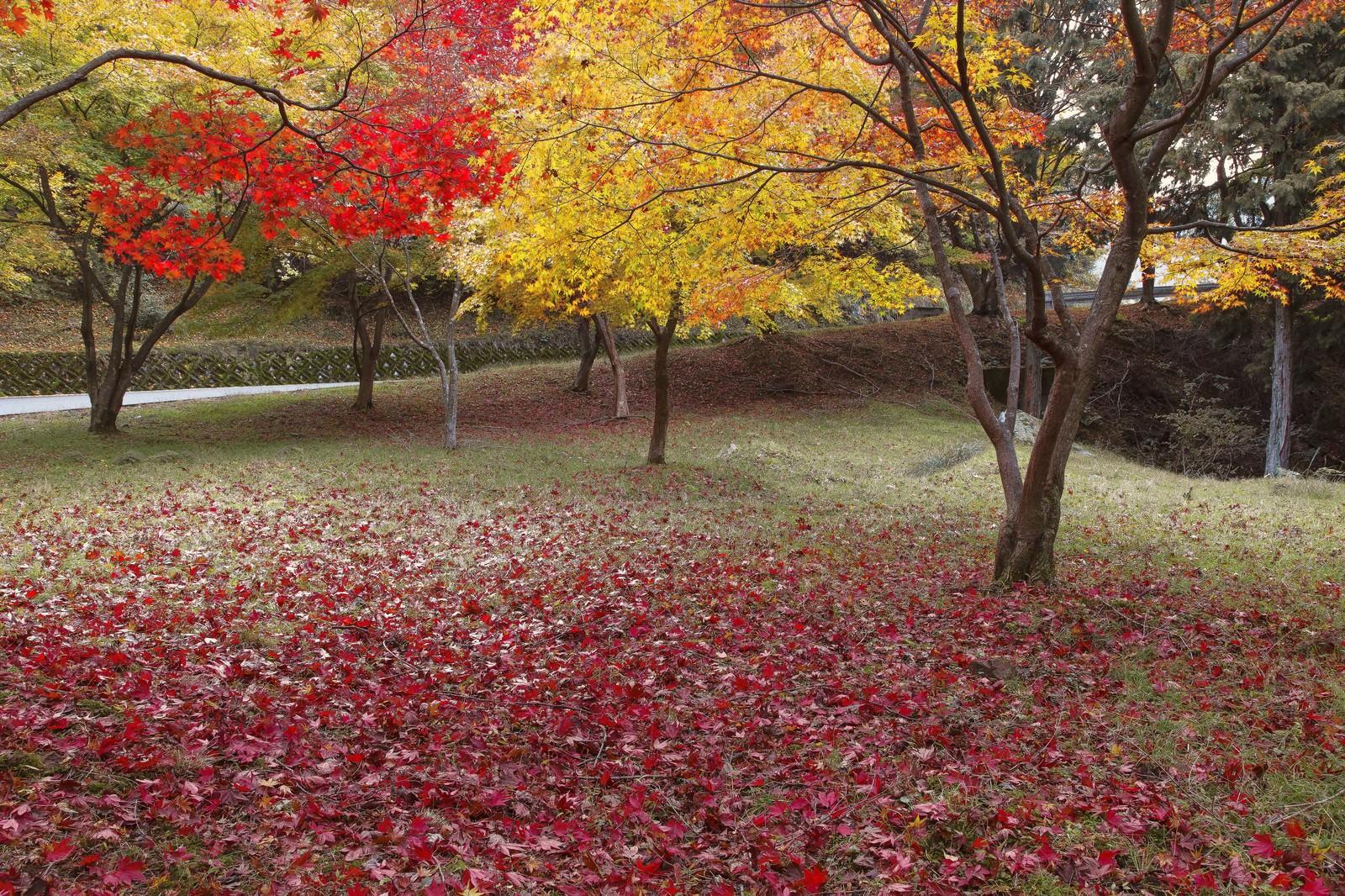 「赤く黄葉した木々と落ち葉」の写真