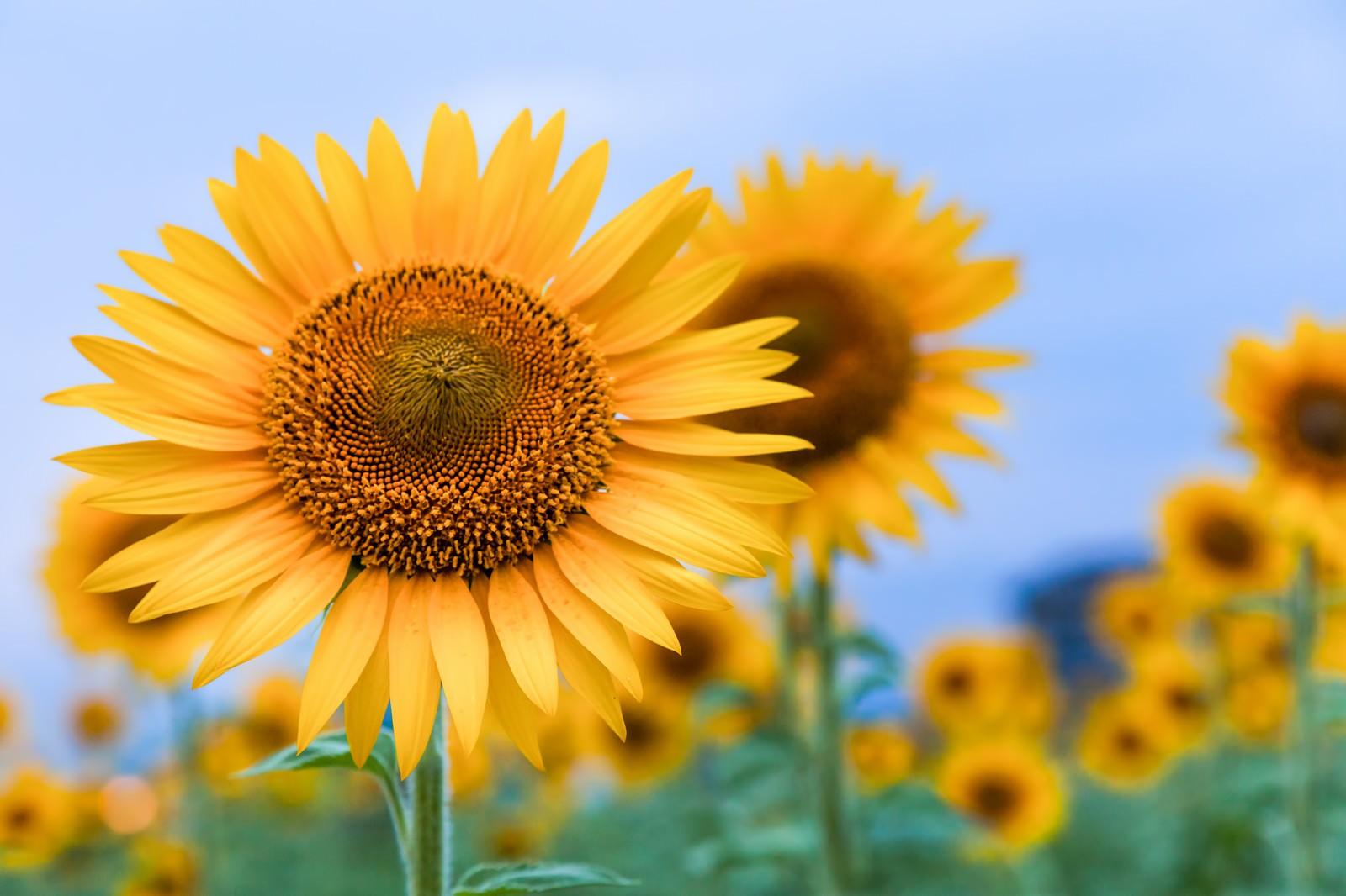 「空に向いて咲くひまわり」の写真