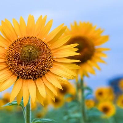 「空に向いて咲くひまわり」の写真素材