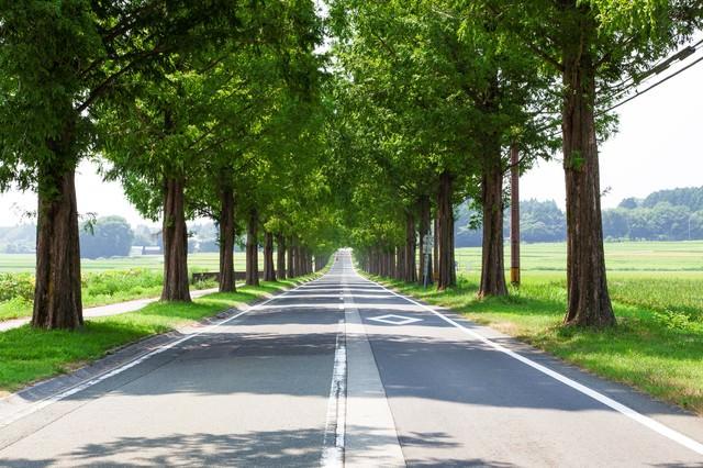 「メタセコイアの並木道」のフリー写真素材