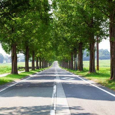「メタセコイアの並木道」の写真素材