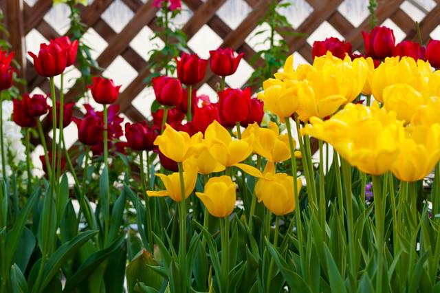 赤と黄色のチューリップの写真